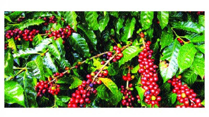 Leading coffee growing countries like Brazil, Colombia, Vietnam and Indonesia has caused an oversupply with the prices of the commodity falling by about 30% in the global markets.