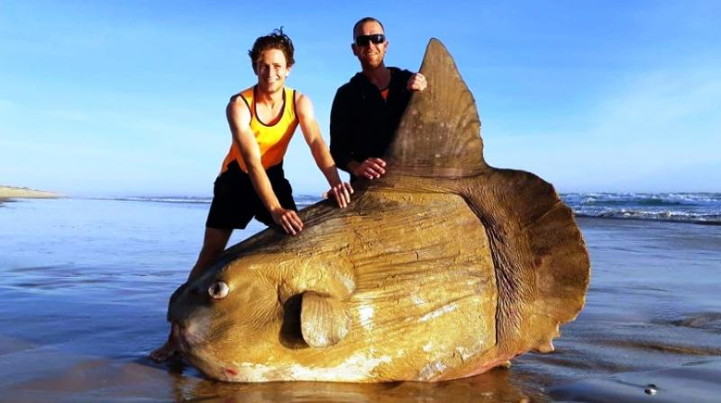 Enormous creature: Boulder-sized sunfish washes ashore in Australia