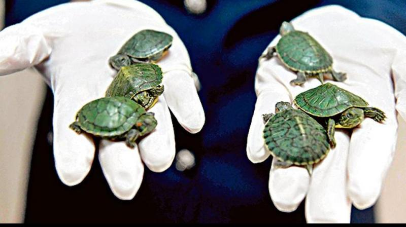 Red-eared terrapins – also known as red-eared sliders – are popular pets and can be found in many shops around the world. (Photo: AFP)