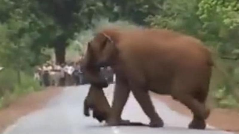 In the video, with another elephant, the rest of the herd emerges – bulls, cows and calves – and cluster around the body. (Photo: Screengrab)
