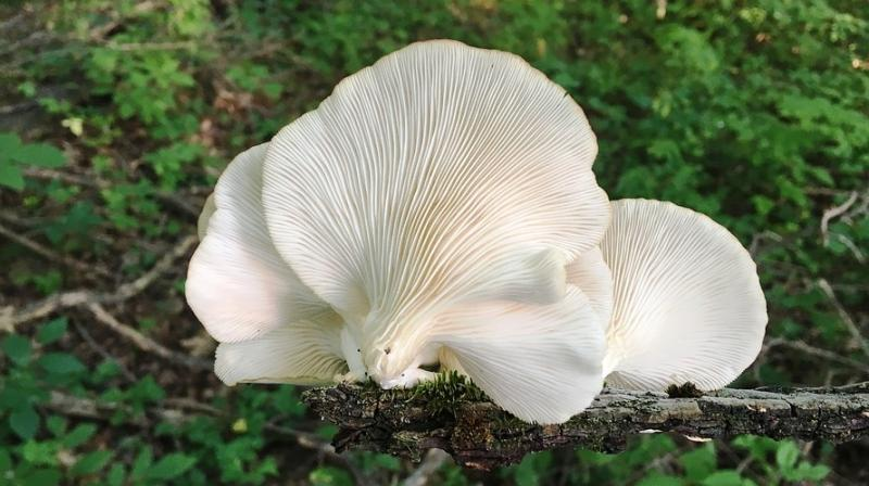Although fresh oyster mushrooms contain almost no vitamin D, the fungus produces it after exposure to sunlight much like the human body. (Photo: Representational/Pixabay)