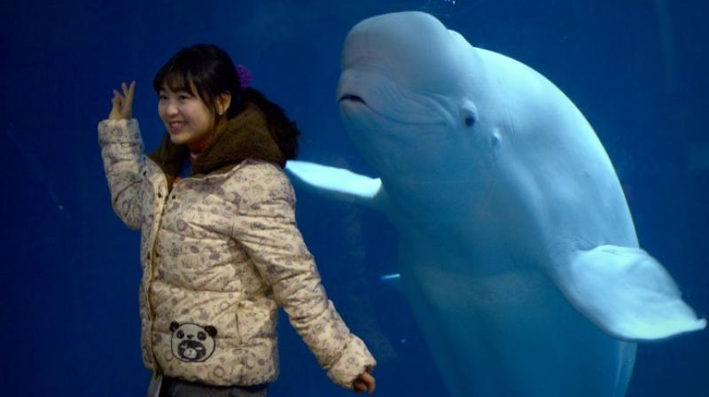 More than 3,000 whales and dolphins are kept in captivity and it is hoped that up to eight other belugas could join Little White and Little Grey in the future. (Photo: AFP)