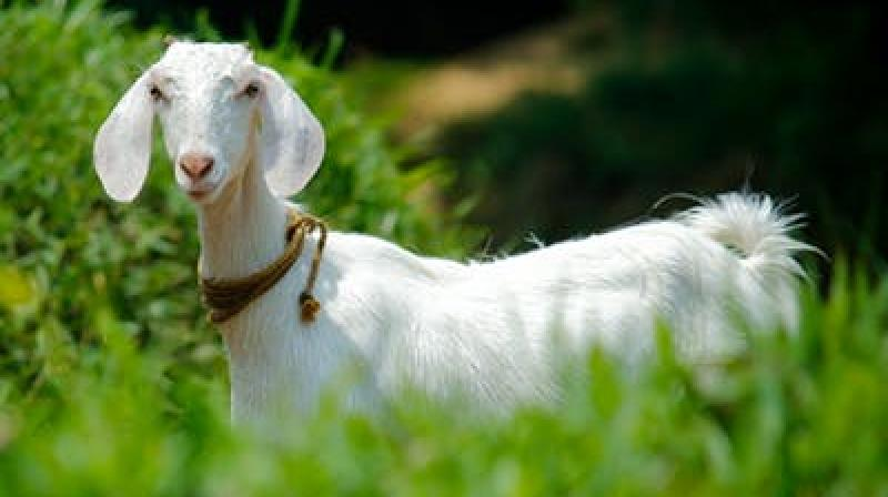 The goats were allegedly grazing on saplings planted by a voluntary, environmental organisation in Huzurabad. (Photo: File | Representational)