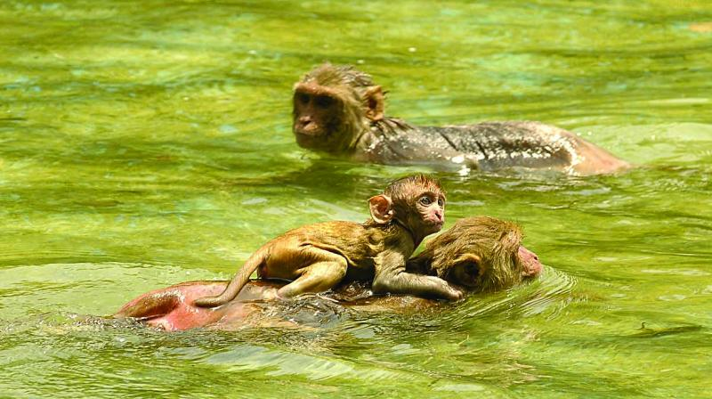 Monkeys enjoying in a waterbody near India Gate in New Delhi on Monday. (Photo: Pritam Bandyopadhyay)