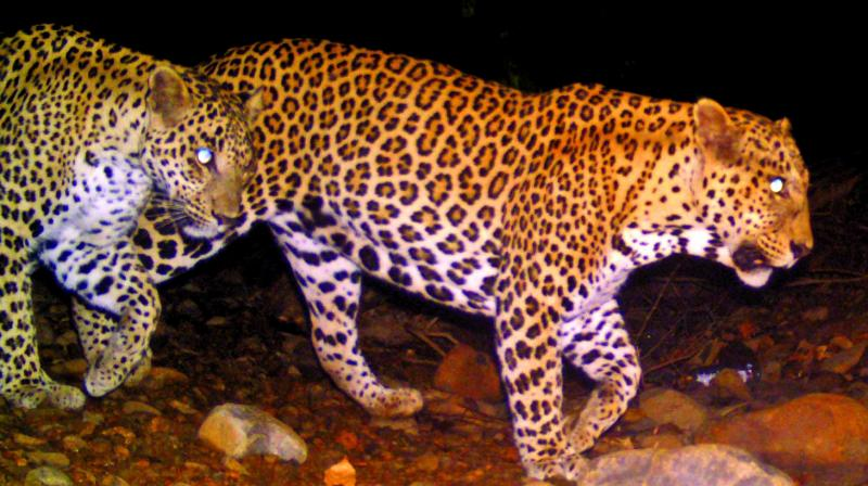 The researchers photo-captured 47 individual leopards.