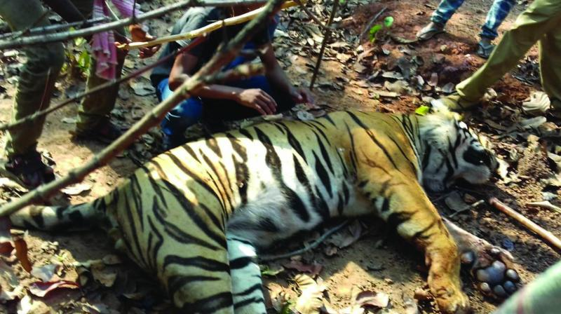 The carcass of the tiger is carried away by a forest department team from Baghghora forest in West Midnapore for autopsy on Friday.