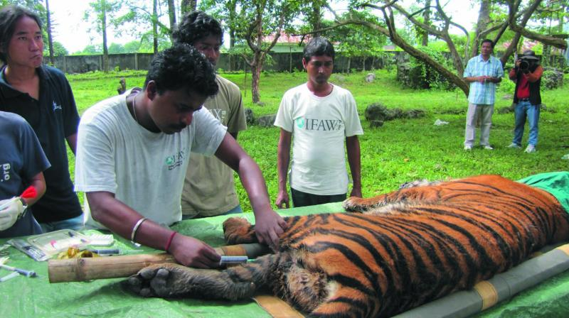 An injured tiger being treated in the Dibang Valley.