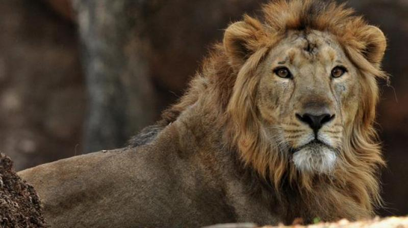 The lions devoured almost his entire body and only his bloodied head was left as a way to identify the man (Photo: AFP)