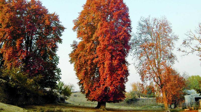 Chinar trees in autumn (Photo: H.U. Naqash)