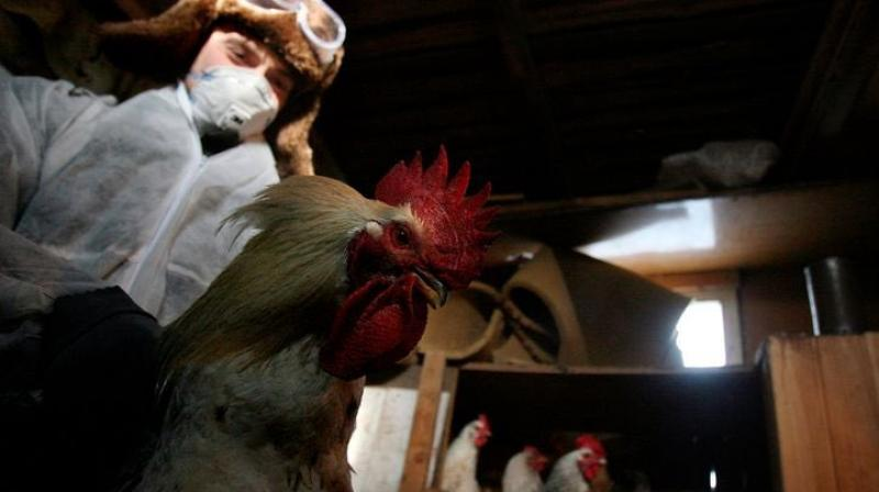 There are different subtypes of avian influenza viruses. (Representational Image: Twitter@UAZ1203)