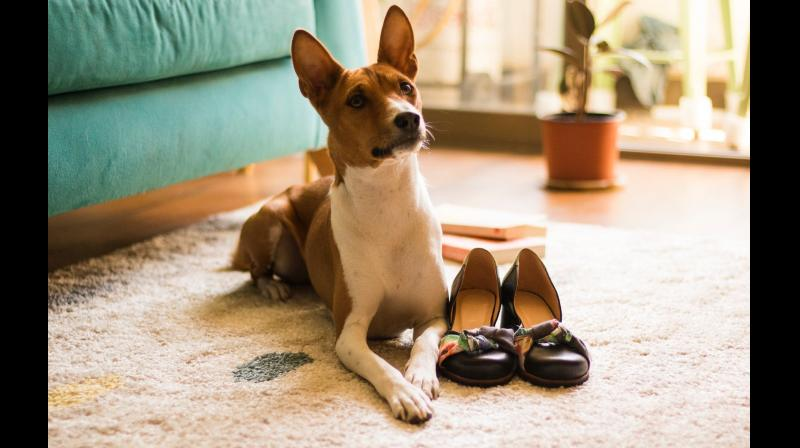 My 'giant mistake(s)', on the other hand, concern my continuous inability to turn myself into a Basenji. Representational Image. (DC Image)