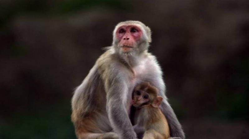 Giving a different account of what happened, Krishnapal Singh, the brother of the 70-year-old, said that Dharampal was collecting wood for a 'havan' (ritual) when he was attacked by the monkeys (Representational Image)