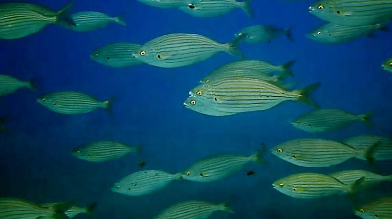 The fish is found in the Atlantic off Africa's western coast and the  Mediterranean (Photo: YouTube)