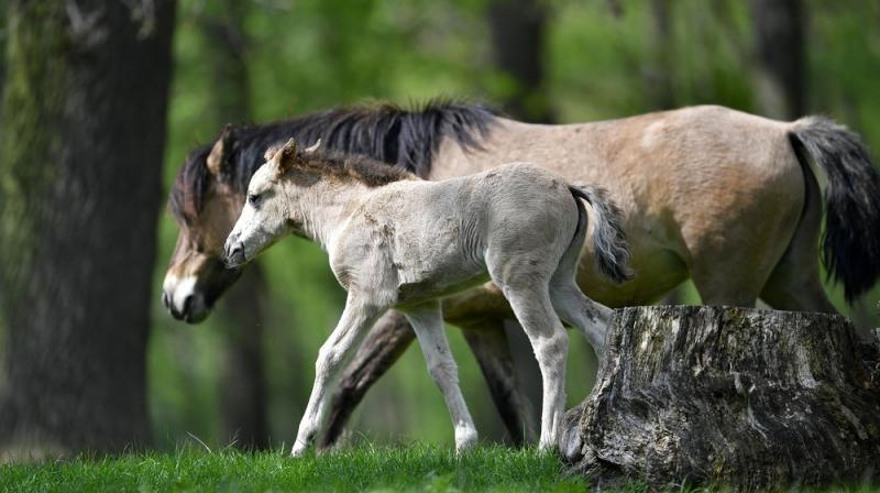 When unconstrained at a given speed, members of a quadrupedal species will generally select a common gait, which is seldom unique to that species alone. (Photo: AP)