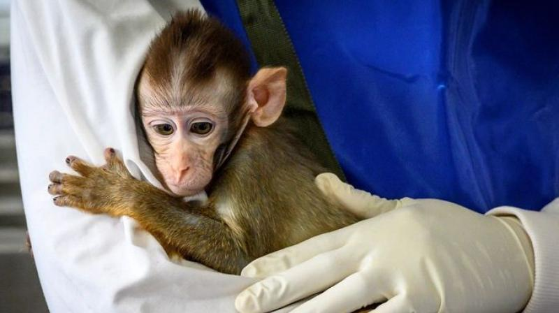 While the rats, mice, rabbits and Syrian hamsters were lab-bred, the rhesus macaques that were used in testing Covaxin candidates were caught in the wild in Maharashtra. (Representational Image/AFP)
