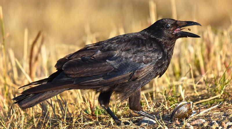 According to reports, Aldi has sent the bird off for testing and analysis and say they think it's a baby crow. (Photo: Pixabay)