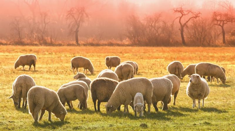 The annual event, which started in 1994, allows shepherds to exercise their right to use traditional routes to migrate their livestock from northern Spain. (Photo: Representational/Pixabay)