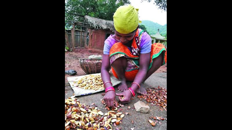 A poor woman picking mahua flower seeds in Kandhamal district.