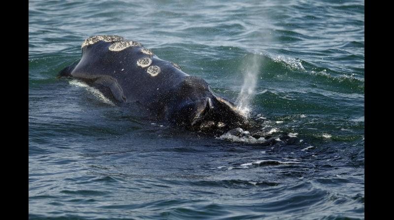 A North Atlantic right whale feeds on the surface of Cape Cod bay off the coast of Plymouth, Mass. (Photo: AP)