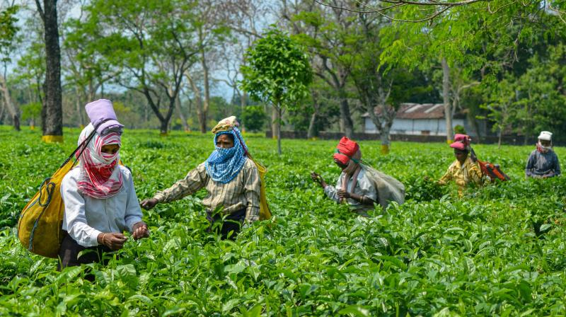 Tea producers' body estimates Rs 2,100 cr revenue loss in 3 months. (PTI Photo)