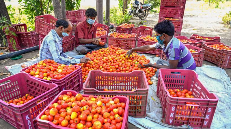 Farmers sort tomatoes near a field for their transportation to various markets during the nationwide lockdown. India is to allow farmers to sell produce directly to bulk buyers. (PTI Photo)