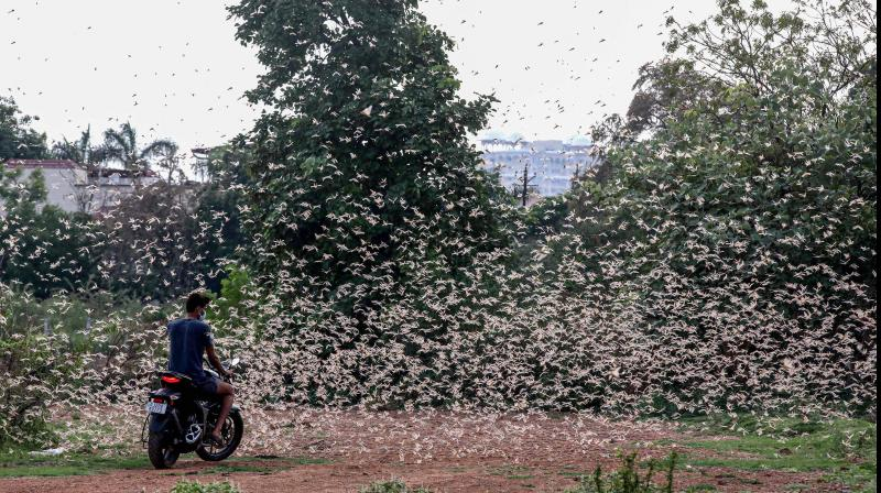 Delhi government issued an advisory to contain and control the menace of desert locust. (PTI Photo)