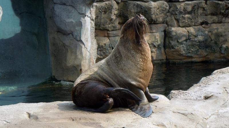 Ziggy had been taken in by the aquarium four years ago, after she was deemed unfit for release back into the wild after being found stranded on a California beach. (Representational Image/ Pixabay)