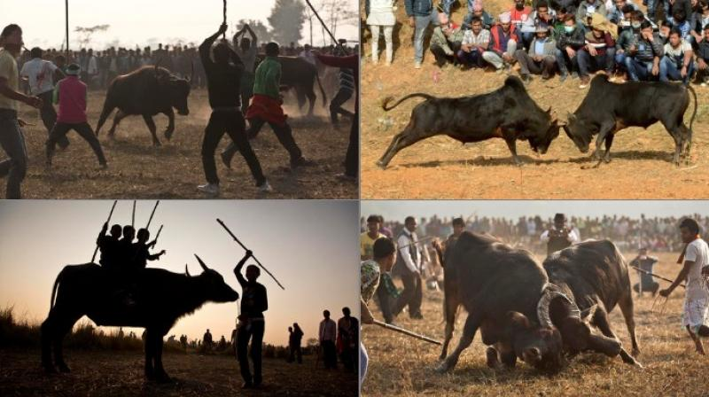 Referred to as Magh Bihu in Assam and Maghesangranti in Nepal, the winter harvest festival is similar to controversial Jalikattu celebrated in South India around the same time (Photo: AP/AFP)