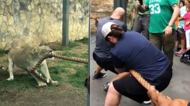 The Texas crowd can be seen cheering as the muscular trio of Ricochet, Fabian Aichner and Killian Dain try their best to win the tug-of-war with the young lion. (Facebook Screengrab/ San Antonio Zoo)
