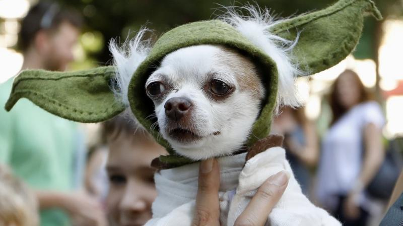 A dog in the attire of Yoda, a Stars Wars character. (Photo: AP)
