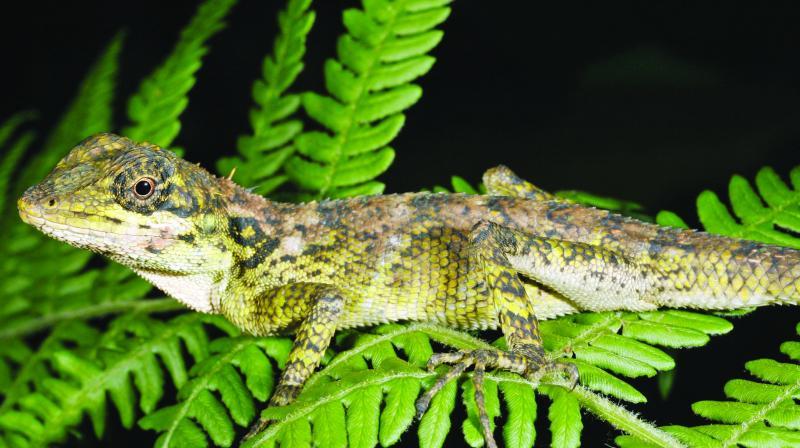 The Monilesaurus montanus lizard