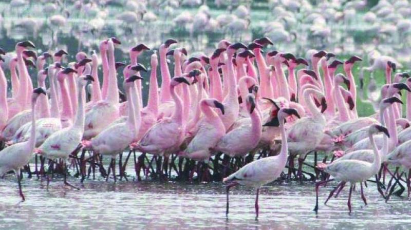 Flamingos arrive at the city's coasts.
