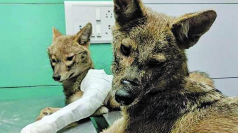 The rescued jackals