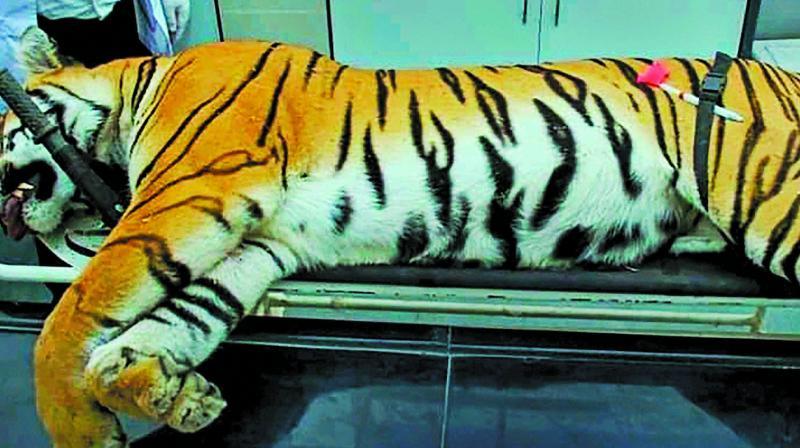 File photo of T1 tigress Avni.