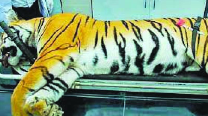Avni the tigress