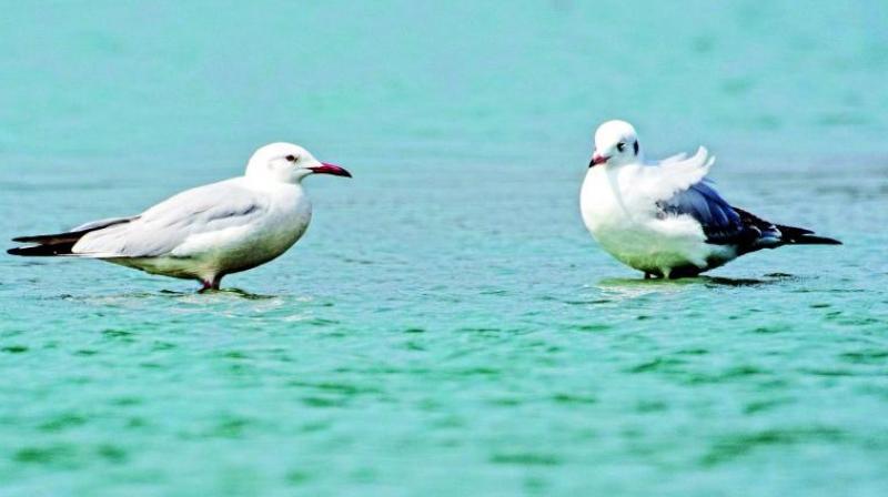 Slender Billed Gulls photographed by Manoj Kumar.