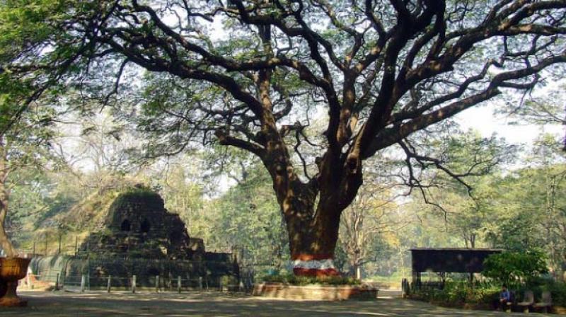 Rain Tree (Images:  Shubhada Nikharge, Save Rani Bagh Botanical Garden Foundation  website)