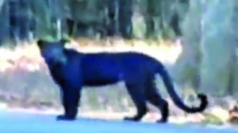 Officials also stated that earlier in 2014, a black panther cub was spotted and they suspect it to be the same leopard that was spotted Sunday.