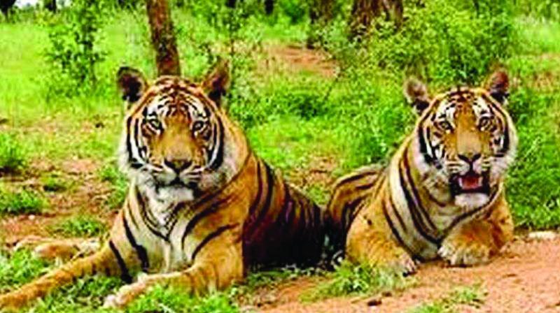 Tigers at the Sariska Tiger Reserve. (PTI/Representational image)