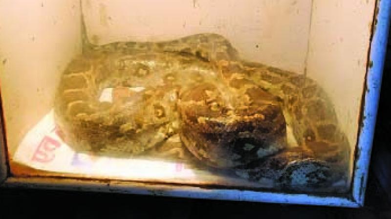 Rescued python