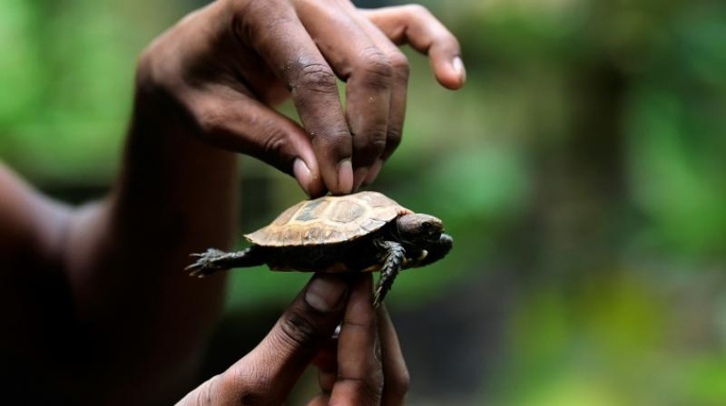 Environmentalists say the success of the breeding programme is no guarantee the species will survive once the newborns are released back into the wild. (Photo: AFP)