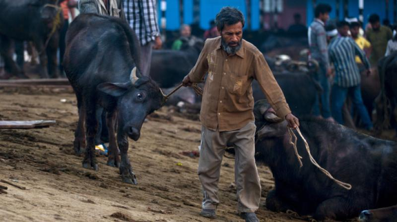 A worker drags a buffalo after it is unloaded from a truck at Ghazipur slaughterhouse complex in New Delhi, India. (Photo: AP/Representational)