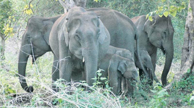 Elephants face threat such as shrinkage of their forest ranges, habitat defragmentation, poaching, captivity and anthropogenic pressure.