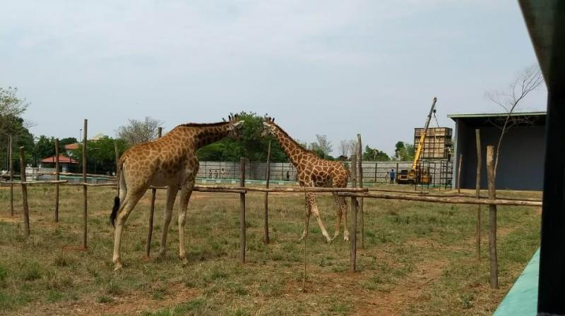 GiraffesYadunandan and Gowri reach out to each other from their enclosures at the Bannerghatta Biological Park in Bengaluru.(DC Photo)
