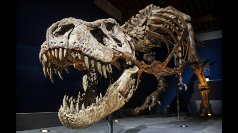 The skeleton of a T rex named Trix is installed in a room of the Naturalis Museum of Leiden, Netherlands on September 9, 2016, during the exhibition