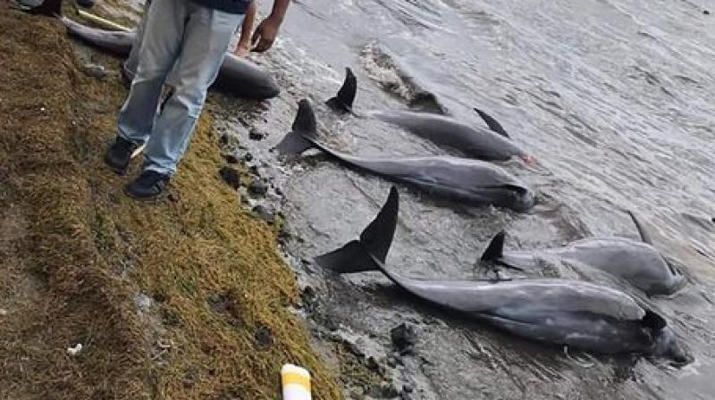 Dolphins lay dead on the shore on the Indian Ocean island of Mauritius. (AP)