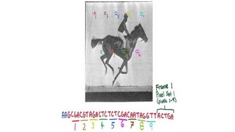 The new CRISPR technology enables the recording of digital data, like frames of the movie of a galloping horse, in a population of living bacteria. (Credit: Wyss Institute)