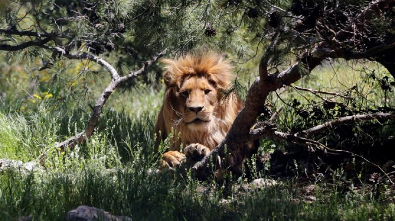The lions have been spotted roaming around the Foskor phosphate mine outside the town of Phalaborwa on the western boundary of the famed wildlife park, which is fenced in. (Photo: Representational I File)