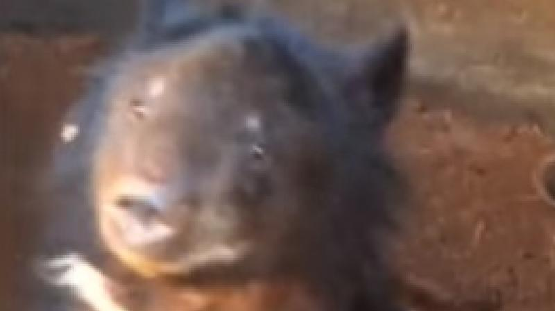 The bear lived with the man for three years until forest department officials found it (Photo: YouTube)