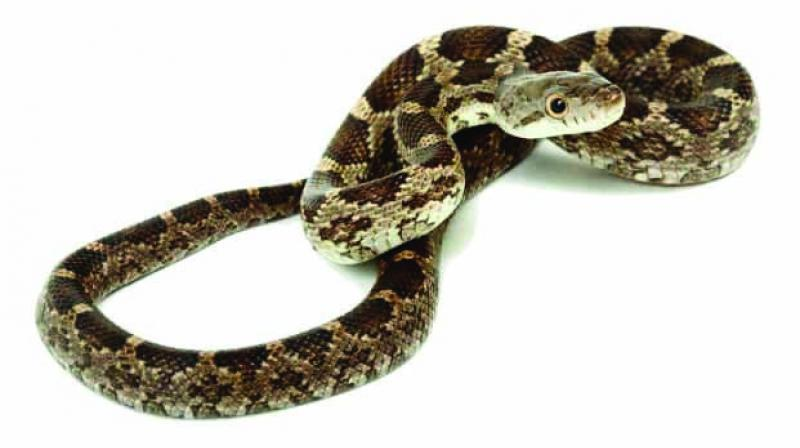 Rat snakes are medium to large constrictors and are found throughout much of the Northern Hemisphere.